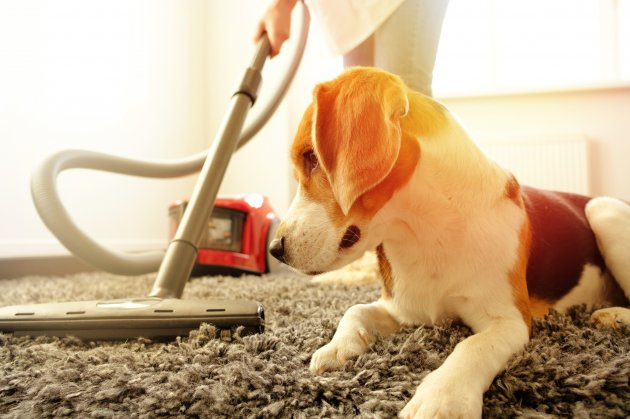 cleaning with a vacuum cleaner next to beagle dog