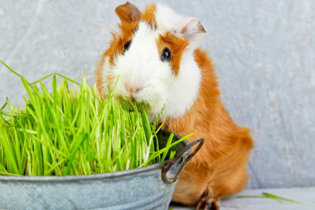 redhead guinea pig near vase with fresh grass