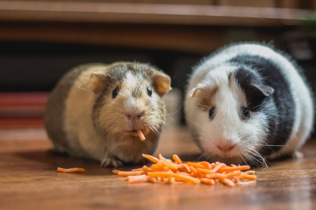 two guinea pigs eating carrot