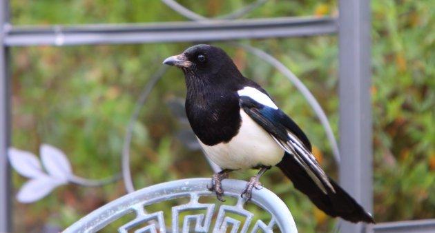 magpie bird closeup view