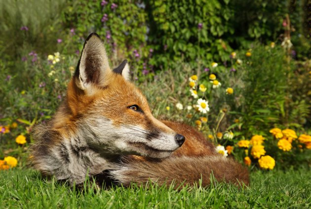 red fox lying in the garden with flowers