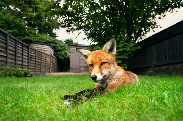 red fox lying on the grass