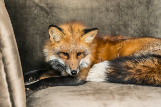 red fox pet