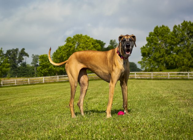 great dane standing in field panting, looking at viewer– stock image