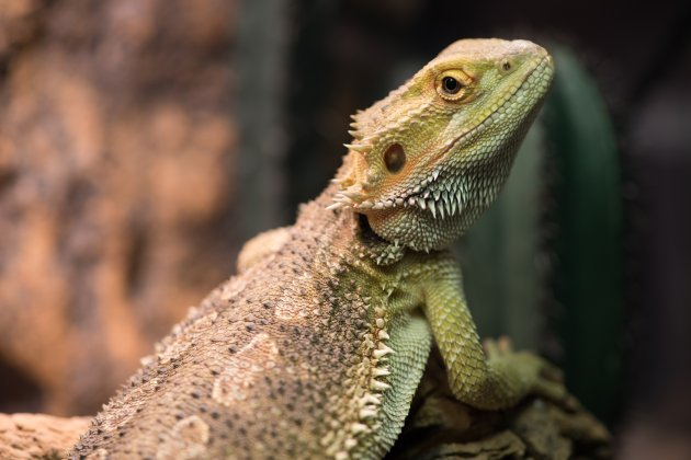 pogona vitticeps with light green skin
