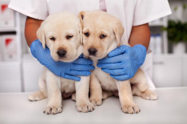 labrador puppies dogs at the veterinary