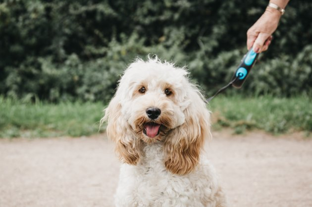 happy cockapoo puppy on a leash