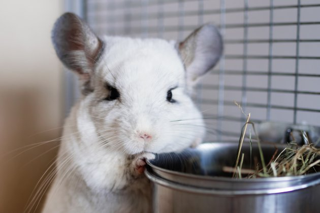 cute chinchilla of white color