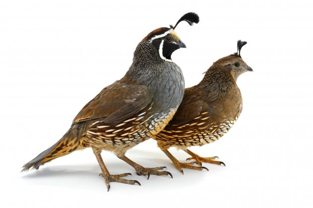The Quail As A Pet It S A Cheerful Chirper Pet Comments