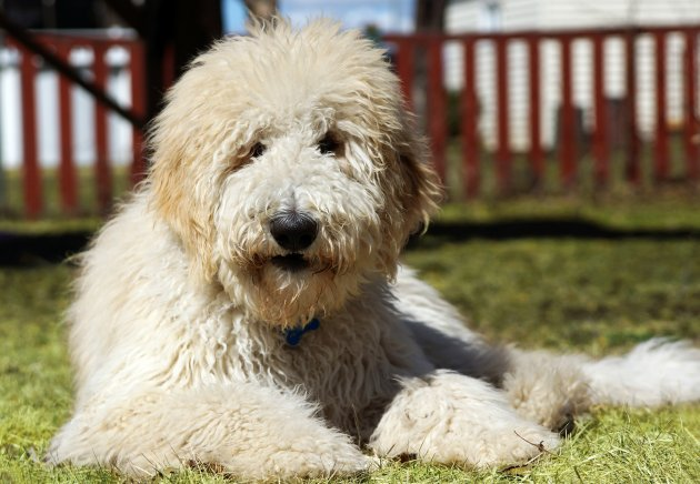 goldendoodle in the grass