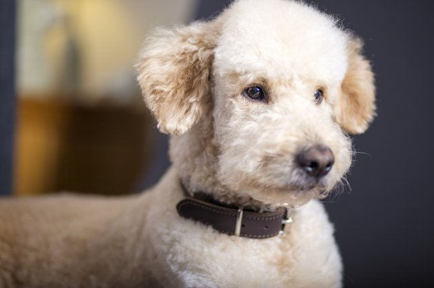portrait of goldendoodle