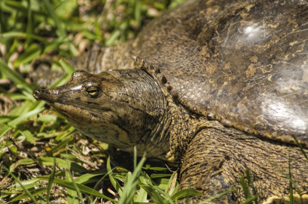 pointed nose florida softshell turtle