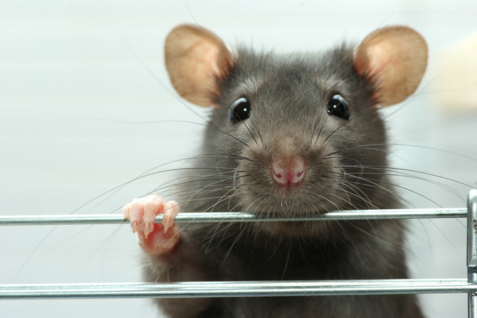 Rats Vs Hamsters Which One Makes A Better Pet Pet Comments