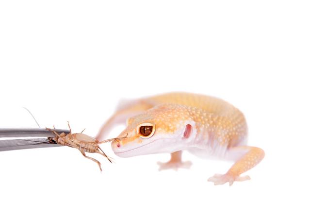 Leopard Gecko Food & Diet | Pet Comments