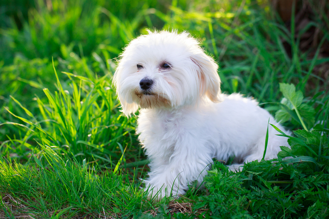 10 Best Hypoallergenic Dogs Guide Breeds Pet Comments
