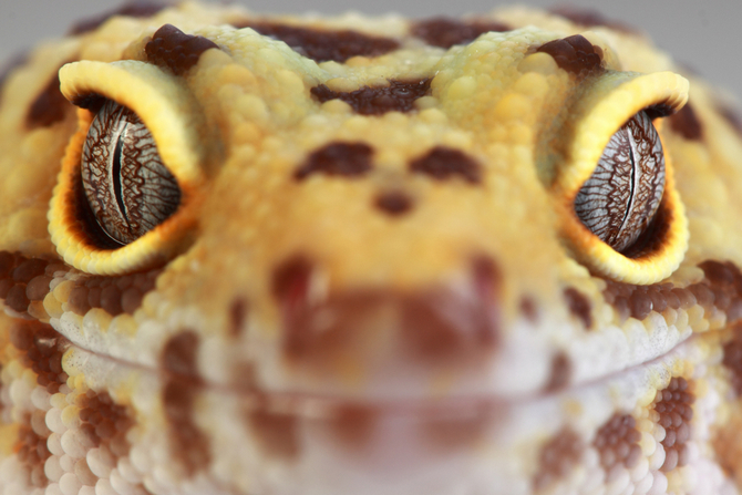 Leopard Gecko as Pets