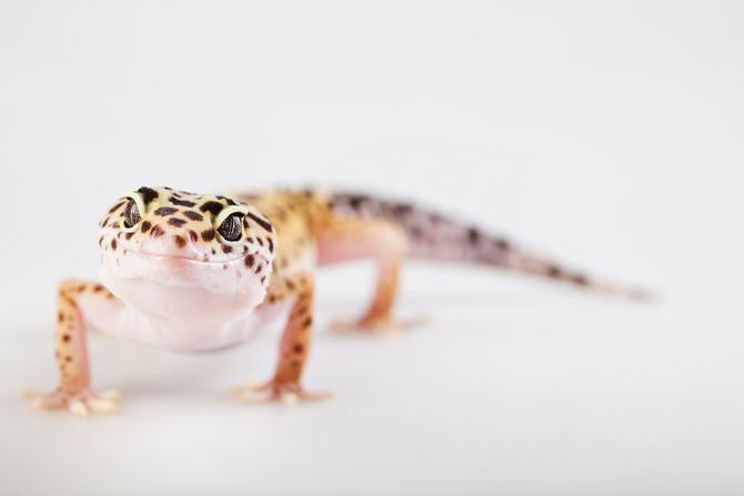 photo gecko