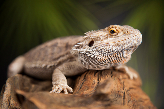 Bearded Dragons Pogona As A Pets Pet Comments