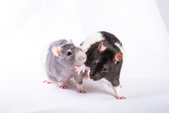 Difference Between Pet Rats and Wild Rats | Pet Comments