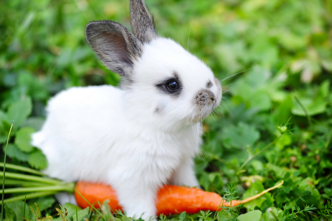 rabbit with carrot in grass