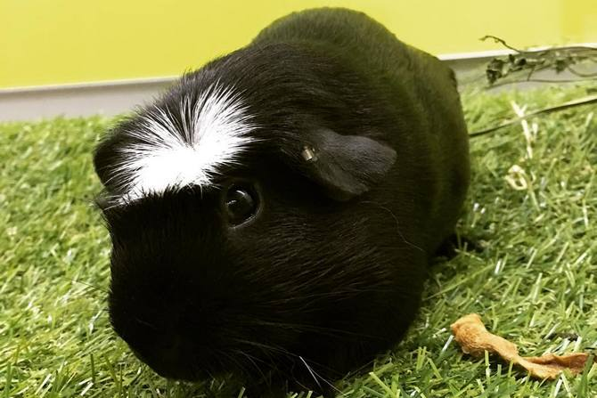White Crested Guinea Pig