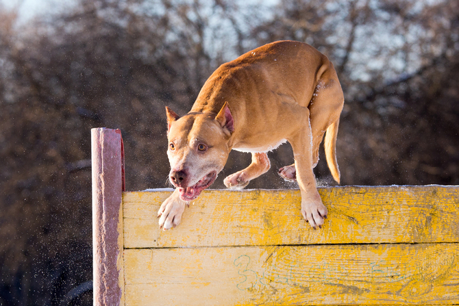 american pit bull terrier jumps