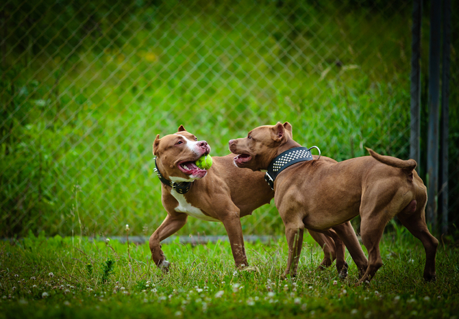 pit bull terrier dog play