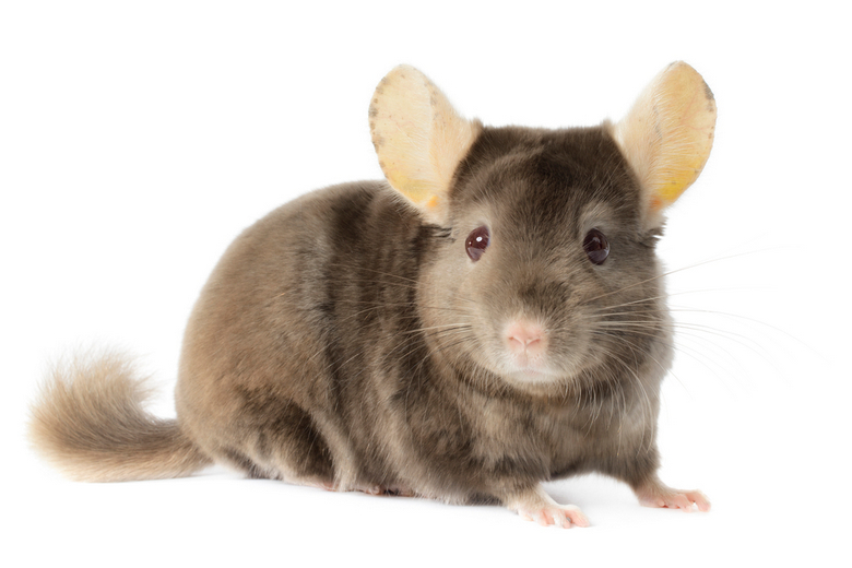 Brown Chinchilla