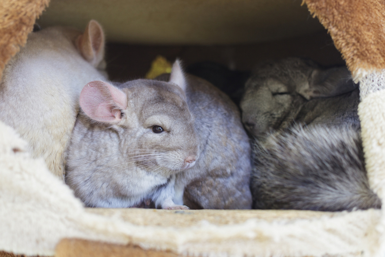 chinchilla groups sleeping