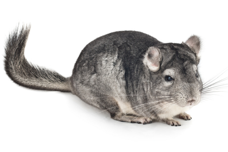Long-tailed Chinchilla