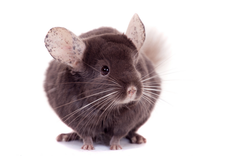 Purple Chinchilla