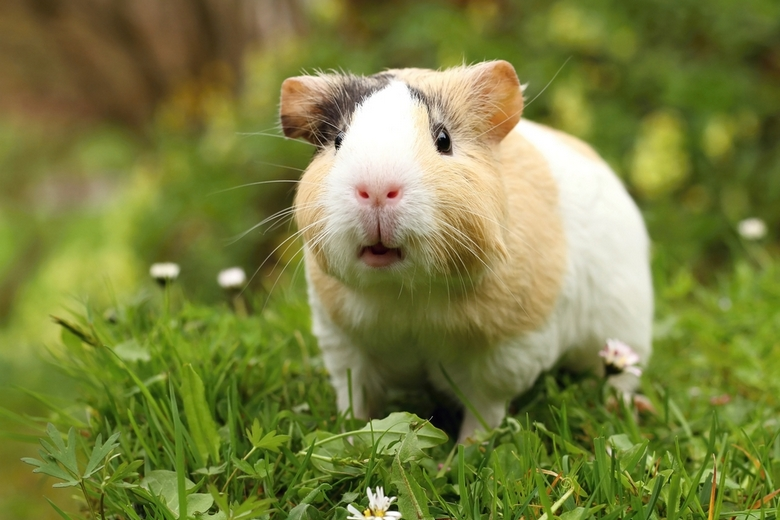 guinea pig sounds and meanings