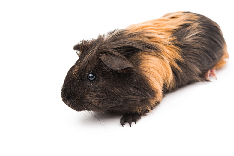 Guinea Pig Bites: Reasons & How to stop | Pet Comments