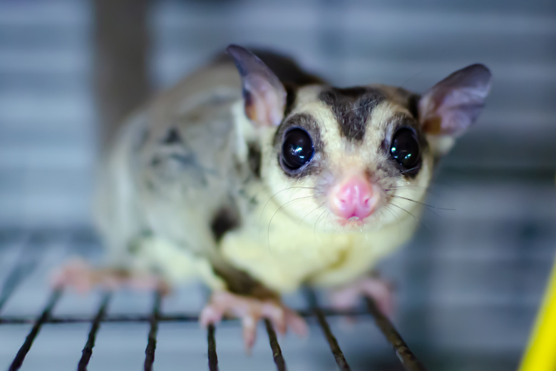The 10 Best Cages For Sugar Glider Pet Pet Comments