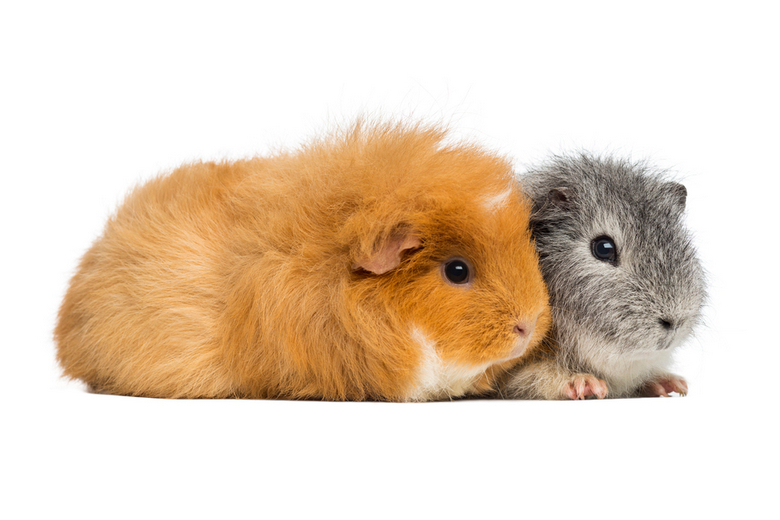 two teddy guinea pigs