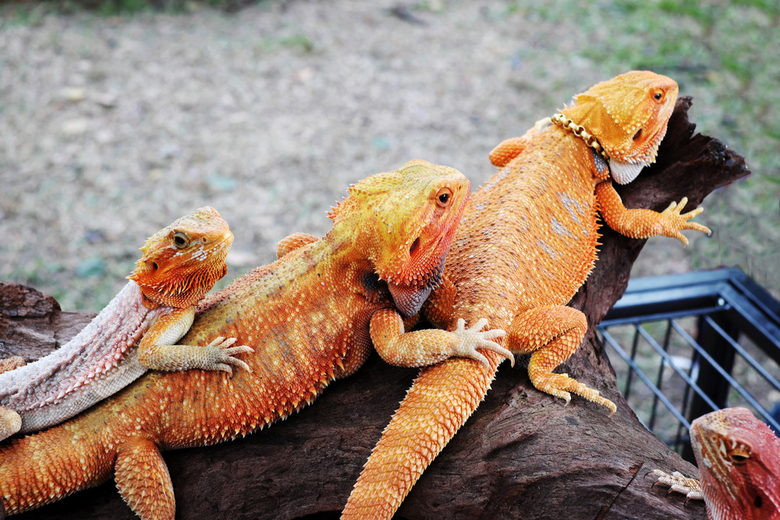types bearded dragons