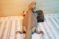 Types of Bearded Dragons   Pet Comments