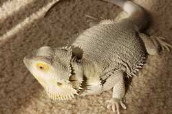 Types of Bearded Dragons | Pet Comments