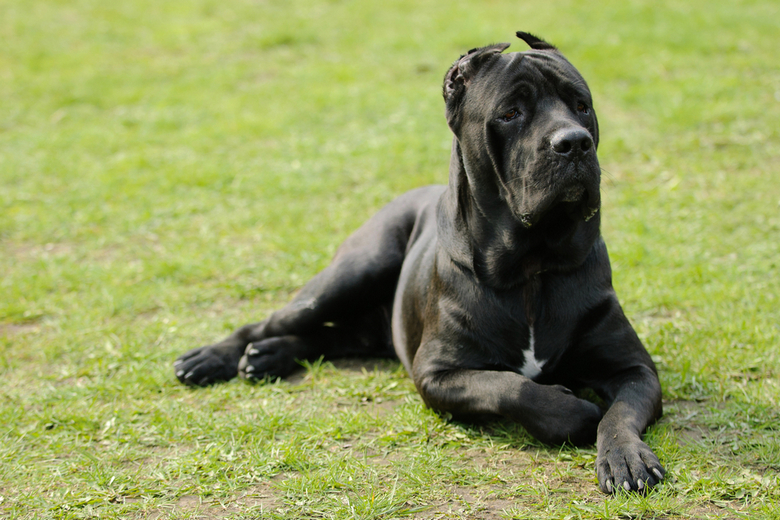 10 Facts about the Cane Corso | Pet Comments