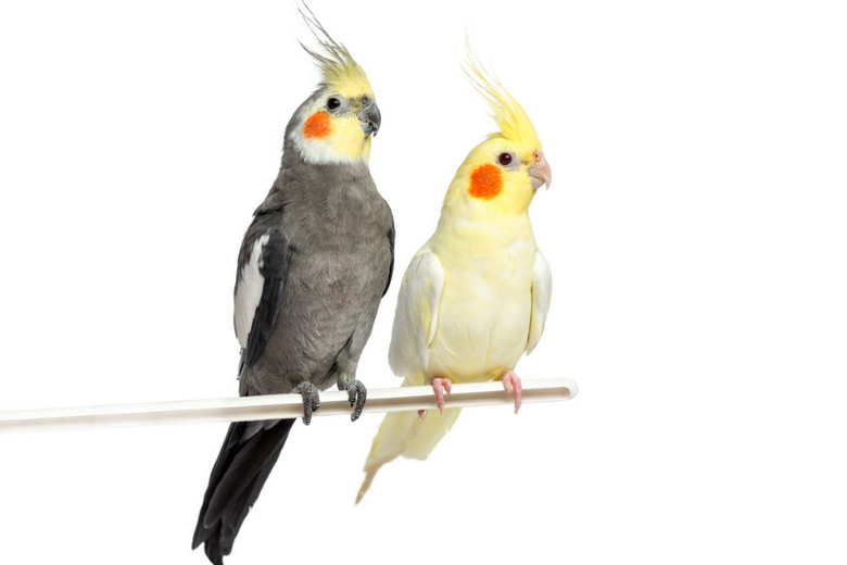 two cockatiel