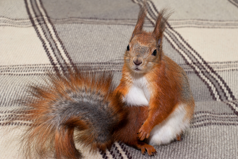 red squirrel in the house