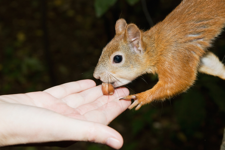 squirrel takes nut from hand
