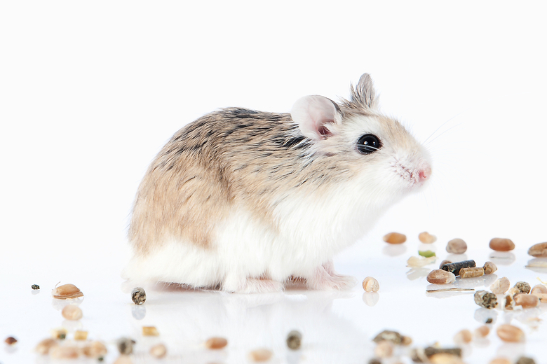 Top 5 Pet Hamster Types With Photos Pet Comments