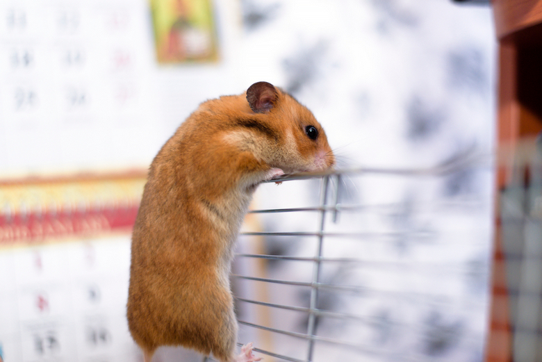 Teddy Bear (Syrian) Hamster as Pet | Pet Comments