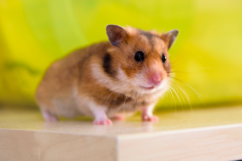 Long Haired Hamster Colors 57