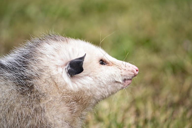 Opossum as a Pet: Is It Too Exotic? | Pet Comments