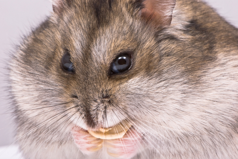 Dwarf Hamster: Facts & Care Tips | Pet Comments