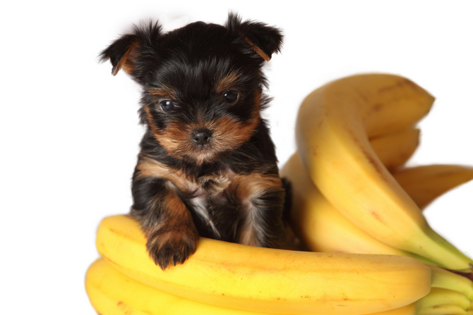 Can Dogs Eat Bananas If Yes Whats The Limit