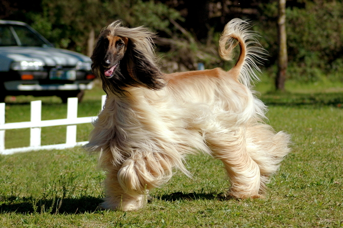 Top 13 Long Haired Dog Breeds Will Make You Envy Them Pet