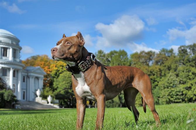 Top 10 Most Dangerous Dog Breeds | Pet Comments
